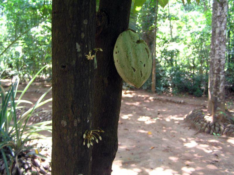 Kakao - na kakaovníku jsou stále poupata, květy i plody. Boby jsou tak podivně přilepené ke kmeni, až jsem si myslela, že provázející mnich je nainstaloval pro turisty. * Cocoa - the cacao has ever buds, flowers and fruits. Pods are so strangely clinging, until I thought the monk has decorative installed for tourists delight.