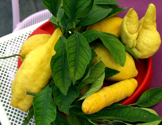 Citron z Amalfi