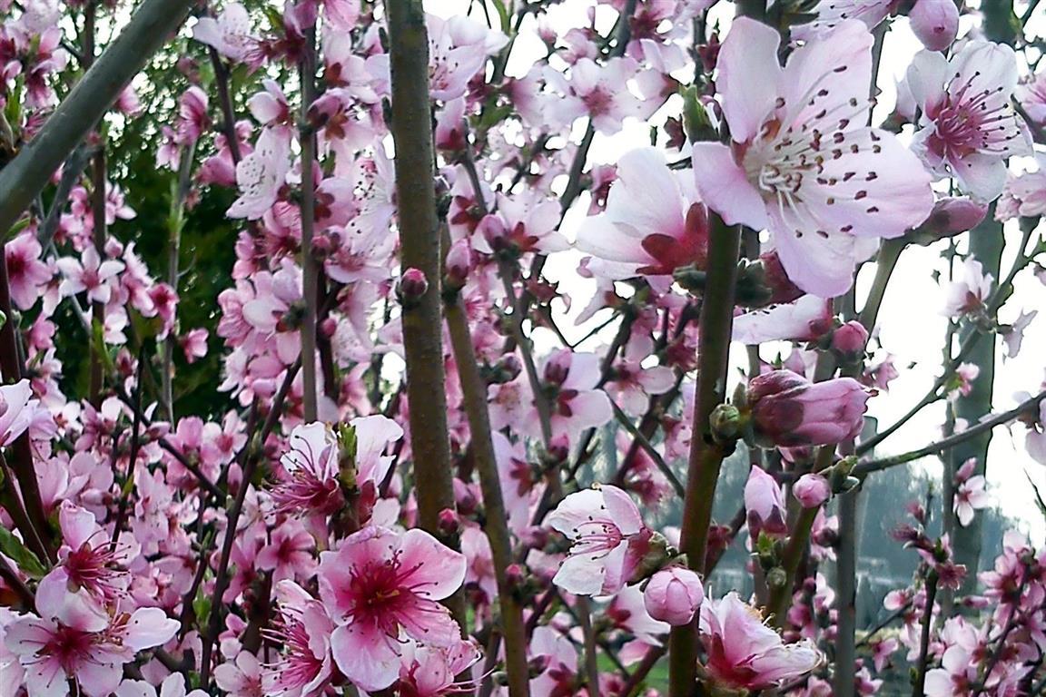 broskvový kvet (Medium)